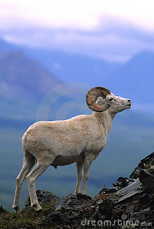Dall Sheep Ram on Ridge