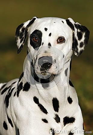Free Dalmatian Royalty Free Stock Photography - 12367297