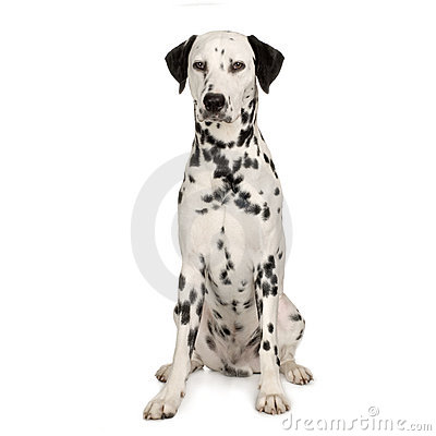 Free Dalmatian Royalty Free Stock Photo - 2244505