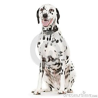 Free Dalmatian Stock Image - 2330351