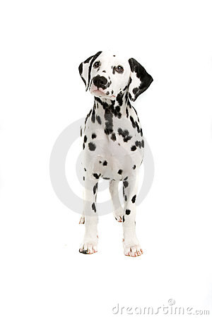 Free Dalmatian Royalty Free Stock Images - 2866309