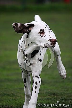 Free Dalmatian  Stock Image - 6664691