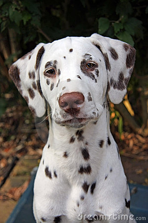 Free Dalmatian Royalty Free Stock Photo - 6988705