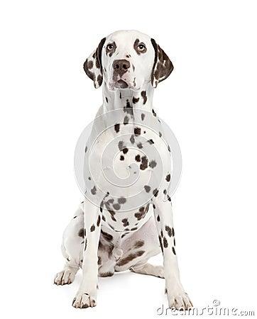 Free Dalmatian Stock Photo - 9053210