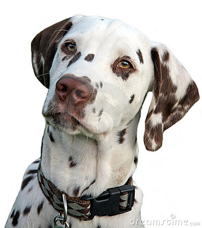 Free Dalmatian Stock Photos - 9063933