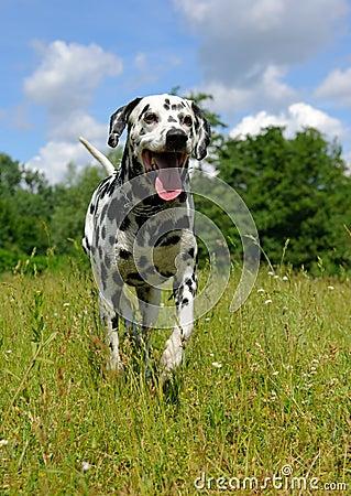 Free Dalmatian Stock Photography - 9737262