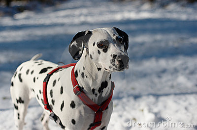 Dalmatian Dog in the Snow