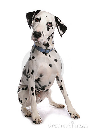 Free Dalmatian Dog Royalty Free Stock Images - 14201039