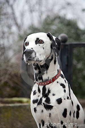 Free Dalmatian Dog Stock Images - 18663764
