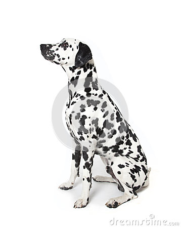 Free Dalmatian Dog Stock Image - 25152741