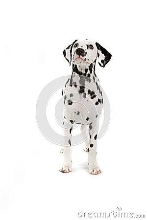 Free Dalmatian Dog Royalty Free Stock Photography - 2866307