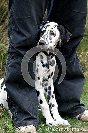Free Dalmatian Dog Between Legs Stock Photo - 1311710