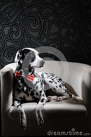 Free Dalmatian Dog In A Red Bow Tie On A White Chair In A Steel-gray Interior. Hard Studio Lighting. Artistic Portrait Royalty Free Stock Photography - 83883007