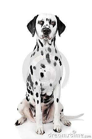 Free Dalmatian Dog Portrait Stock Images - 22090804