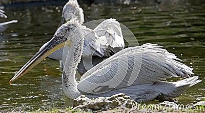Dalmatian pelican 6
