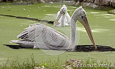 Dalmatian pelican 8