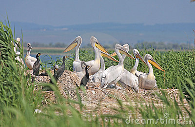 Dalmatian pelican colony
