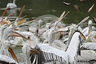 Dalmatian pelican,pelecanus crispus