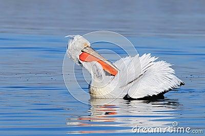 Dalmatian pelican preening