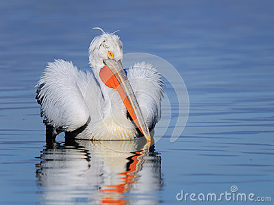 Dalmatian pelican swimming