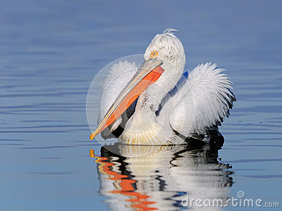Dalmatian pelican on the water portrait