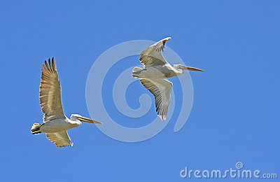 Dalmatian pelicans in flight