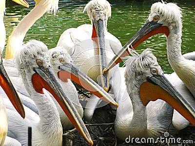 Dalmatian pelicans / Pelecanus crispus