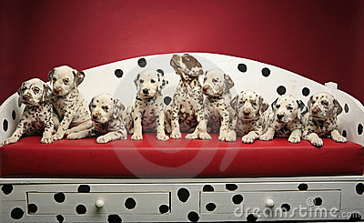 Dalmatian puppies on a bench