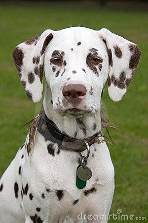 Free Dalmatian Puppy Royalty Free Stock Photos - 6679058