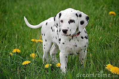 Dalmatian Puppies on Dalmatian Puppy  Click Image To Zoom