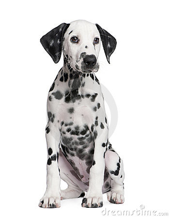 Free Dalmatian Puppy Royalty Free Stock Image - 9772636
