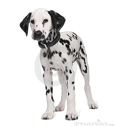 Free Dalmatian Puppy Royalty Free Stock Photos - 9772668