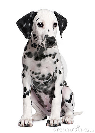 Free Dalmatian Puppy Royalty Free Stock Images - 9892209