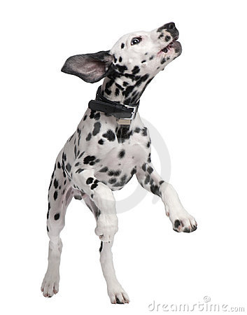 Free Dalmatian Puppy Royalty Free Stock Image - 9892266