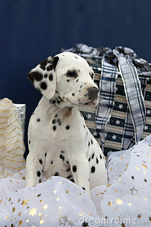 Dalmatian puppy and christmas gifts