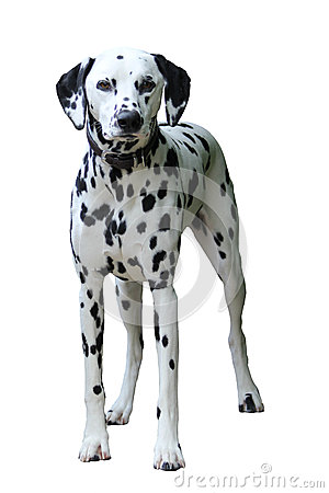 Free Dalmatian Standing, Isolated Against A White Background. Stock Photos - 49065643