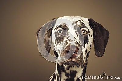 Dalmatian, watchful glance