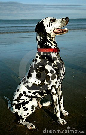 Free Dalmation 2 Royalty Free Stock Images - 76399