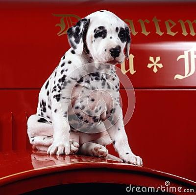 Dalmation del cucciolo su un camion dei vigili del fuoco
