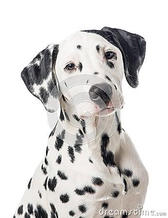 Free Dalmation Dog Portrait Royalty Free Stock Images - 49836709