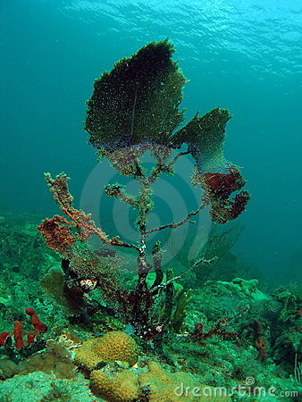 Damaged Fan Coral