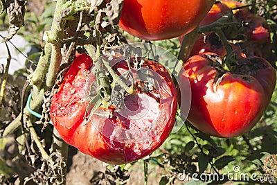 Damaged organic tomato