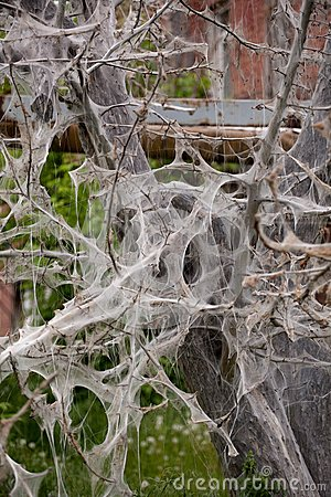 Damaged web of wood moth