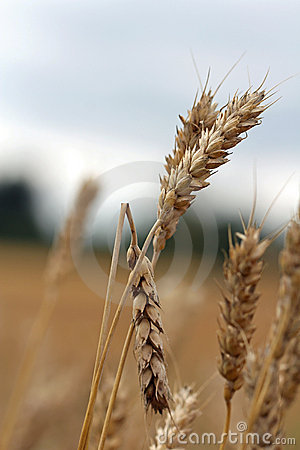 Damaged wheat
