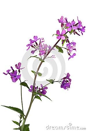 Dame Rocket Wild Flower