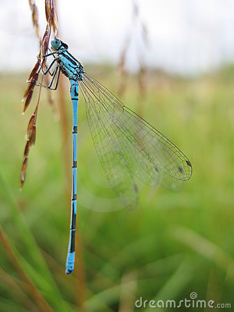 Free Damsel-fly Royalty Free Stock Images - 2868329
