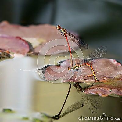 Free Damselflies Mating Stock Photography - 31227242