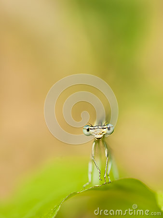 Free Damselfly Royalty Free Stock Photography - 76231777