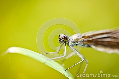 Damselfly Calopteryx Virgo closeup