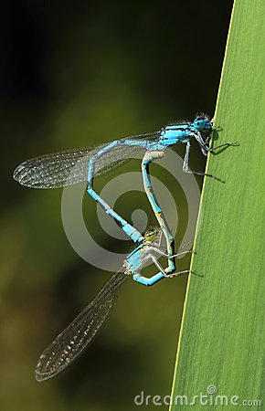 Free Damselfly Coenagrion Puella During Mating Stock Image - 120038391
